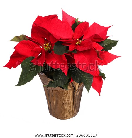 Red poinsettia flower isolated on white. Christmas Flowers - stock photo