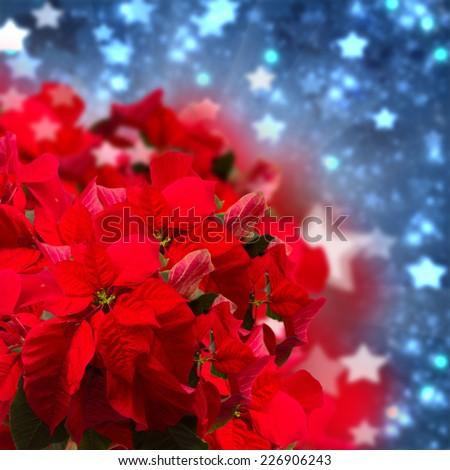 red poinsettia flower or christmas star  on blue  bokeh  background  - stock photo