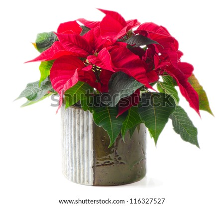 Red poinsettia isolated on white background - stock photo