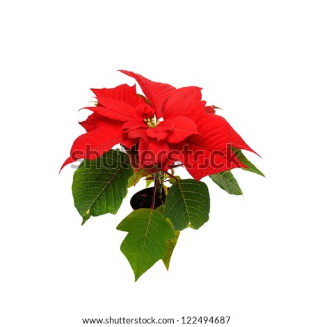 Red poinsettia. red christmas star on white background - stock photo