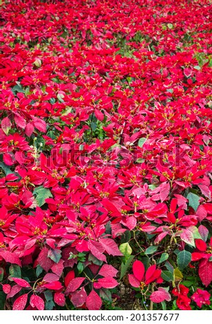 Red poinsettia with more in the background - stock photo