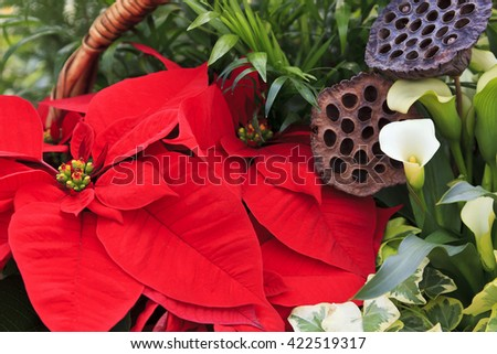 Red Poinsettias in a Basket for Christmas Decorations - stock photo