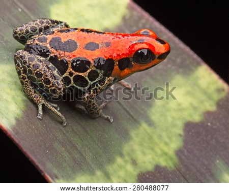 red poison dart frog, Ranitomeya reticulata, small cute rain forest animal from the amazon jungle of Peru - stock photo