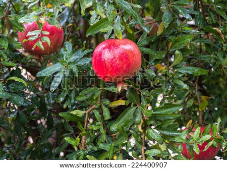 Red pomegranates on tree  - stock photo
