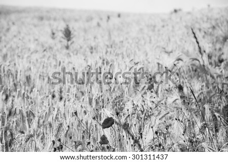 Red poppies and ripe wheat spikes meadow. Selective focus on the spikes at foreground. Aged photo. Black and white. - stock photo