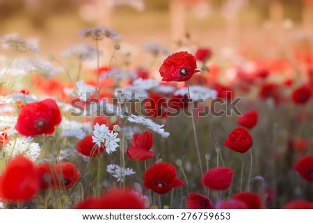 Red poppies and white flowers on the field with cream filter - stock photo