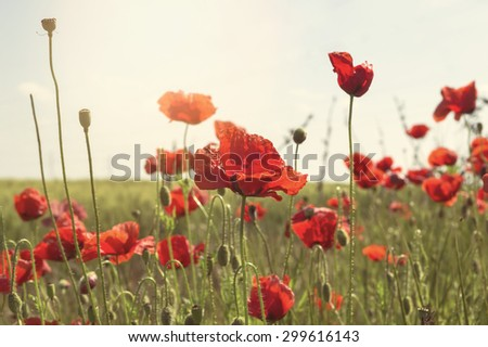 Red poppies at field. Selective focus - stock photo