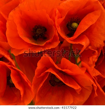 Red poppies closeup flower background - stock photo
