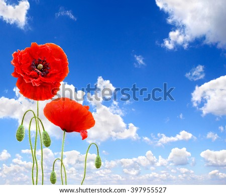 Red poppies (common names: common poppy, corn poppy, corn rose, field poppy, Flanders poppy, red poppy, red weed, coquelicot) on blue sky background - stock photo