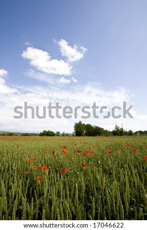 red poppies growing in field early summer France - stock photo
