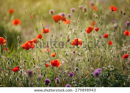 Red poppies in green grass - stock photo