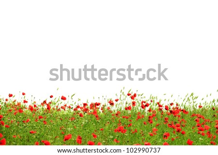 Red poppies in green grass isolated on white background - stock photo