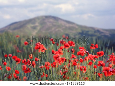 red poppies in mountains - photo with shallow DOF - stock photo