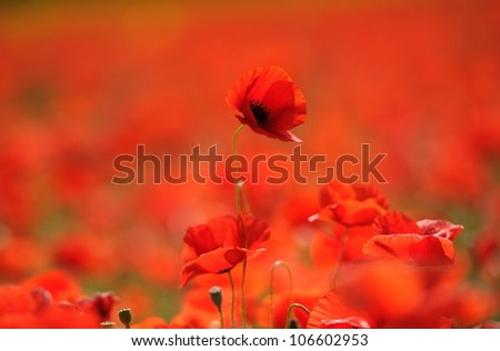 Red poppies in the field, Provence, France - stock photo