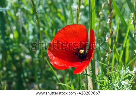 Red poppies in the grass - stock photo