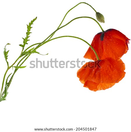 red poppies isolated on a white background - stock photo