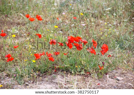 red poppies near the ruins, Cyprus - stock photo