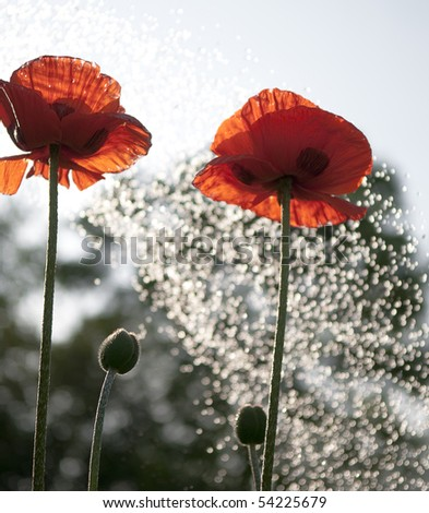 Red poppies on blue sky - stock photo