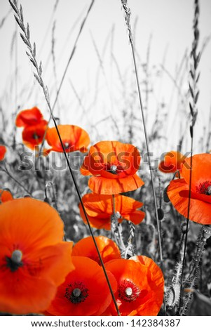 red poppies on BW field - stock photo