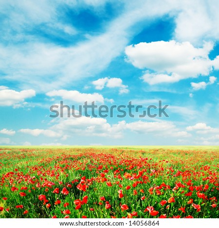 red poppies on green field - stock photo