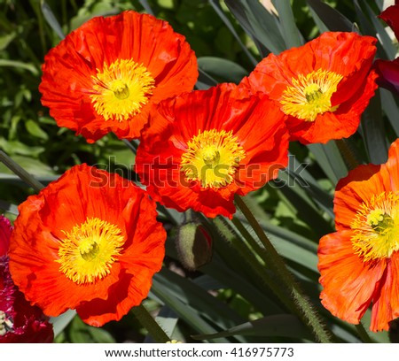 Red poppies on the field - stock photo