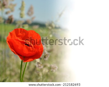 Red poppies on the field with copy space - stock photo