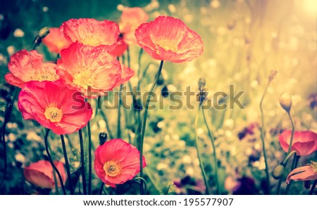 Red poppies on the meadow in golden evening sun beams . Selective focus. Aged photo. Retro style postcard. - stock photo
