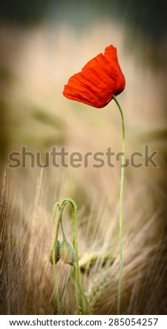 red poppies with three buds, cross process - stock photo