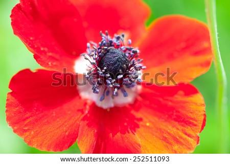 Red poppy - stock photo