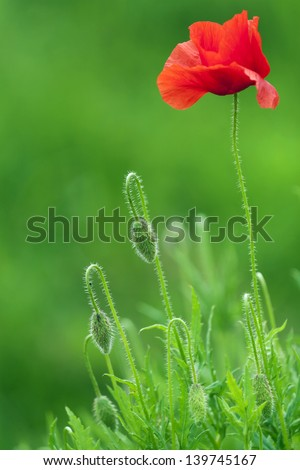 Red poppy and buds on the field. - stock photo
