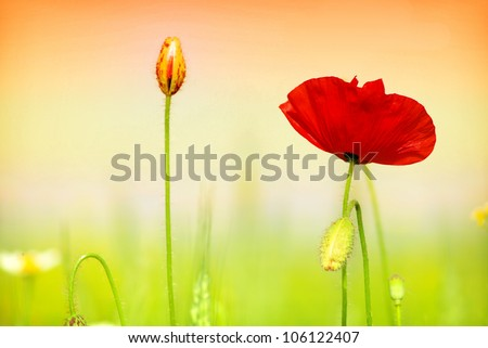 red poppy and grass - stock photo