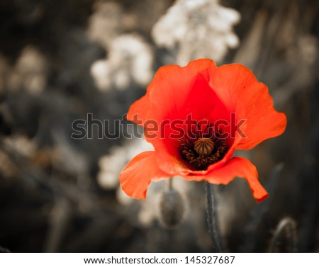 Red poppy and rape flowers on aged background. Selective focus. - stock photo
