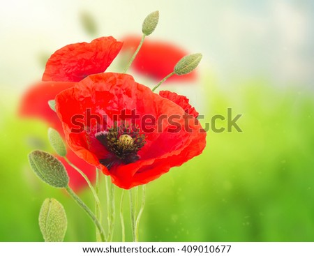 Red poppy blooming  flowers with buds  on field  defocused  background - stock photo
