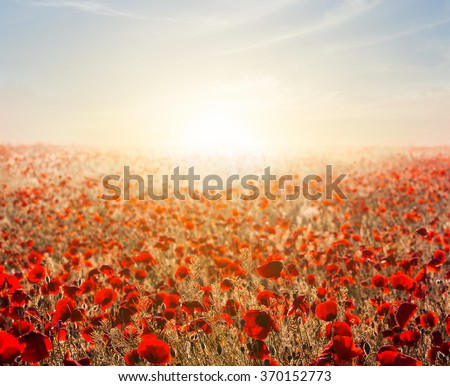 red poppy field at the early morning - stock photo
