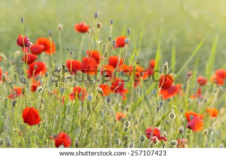 red poppy field at the sunset - stock photo