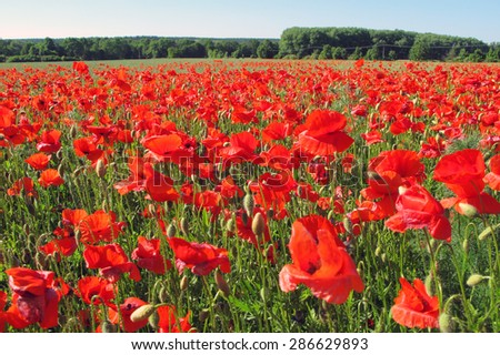 Red poppy field. Beautiful rural scenery. - stock photo
