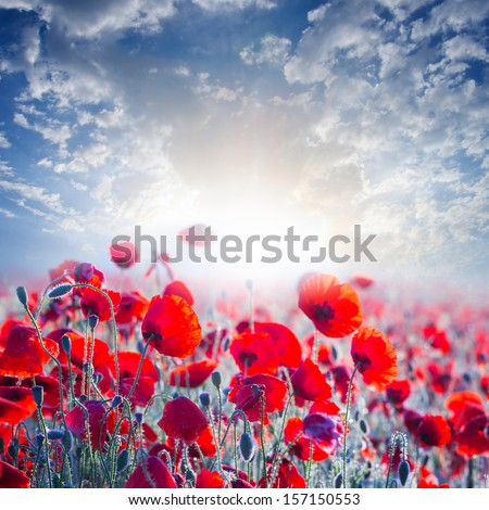 red poppy field in a rays of sun - stock photo