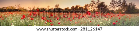Red poppy field,panorama photo - stock photo