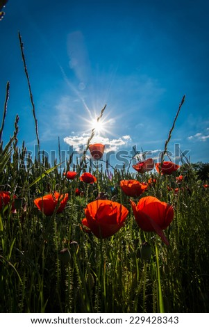 Red poppy field with sunbeam - stock photo