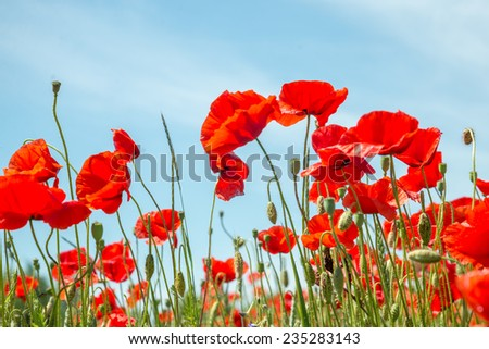 red poppy field with the sunshine - stock photo