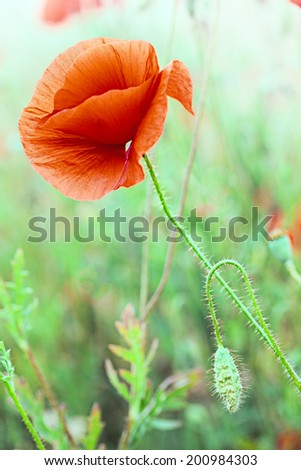 red poppy flower in grass meadow. Papaver rhoeas is the symbol of remembrance day and flanders fields. These poppies are red spring flowers  - stock photo