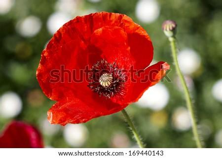 Red poppy flower in the fields - stock photo