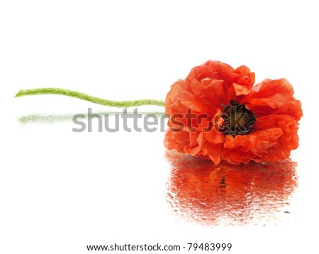 red poppy flower on a white background with water drops - stock photo