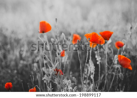Red Poppy Flowers for Remembrance Day / Sunday - stock photo