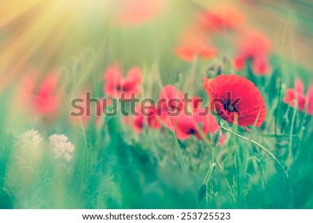 Red poppy flowers in meadow - stock photo
