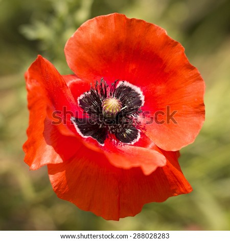 red poppy flowers in the meadow - stock photo