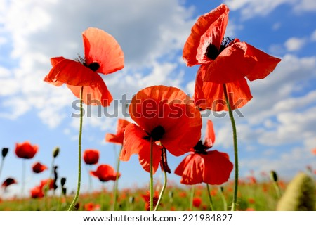 Red poppy flowers on meadow against nice sky - stock photo