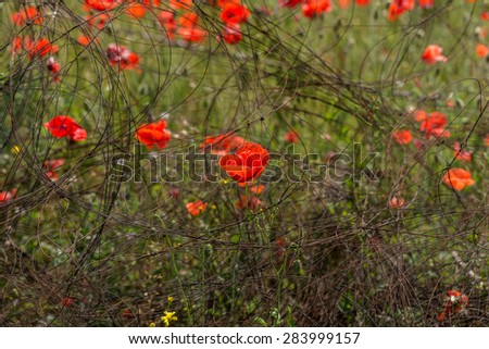 Red poppy flowers on the spring field in bright sunny day of anti-wire fences. Place of hostilities, the war in Ukraine, Donbass - stock photo