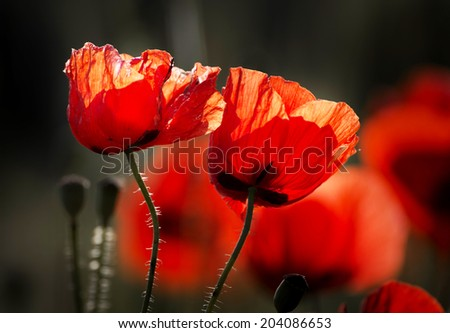 red poppy heads, the morning sun - stock photo