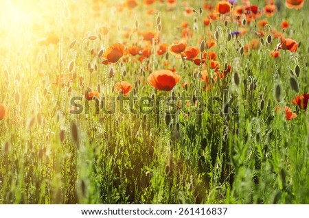 Red poppy in a green grass field with sunlight - stock photo